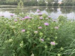 bee balm and pond