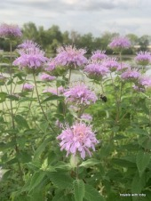 bee balm with bee!!