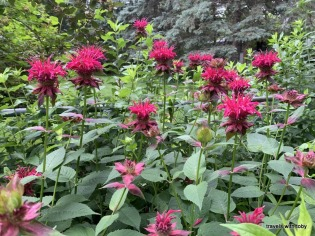 group of dark pink bee balm