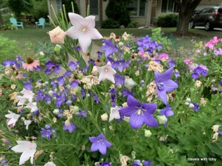 I love these balloon flowers