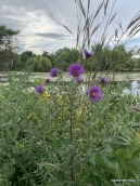 wildflowers at Willow Pond